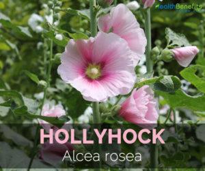 hollyhock-alcea-rosea