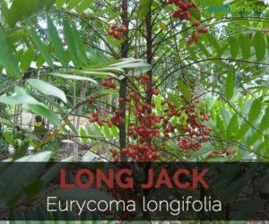 long-jack-eurycoma-longifolia