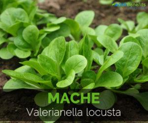 mache-valerianella-locusta