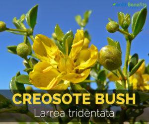 creosote-bush-larrea-tridentata