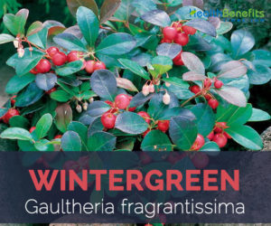 Wintergreen facts and health benefits