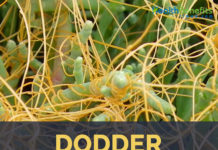 Dodder facts and health benefits