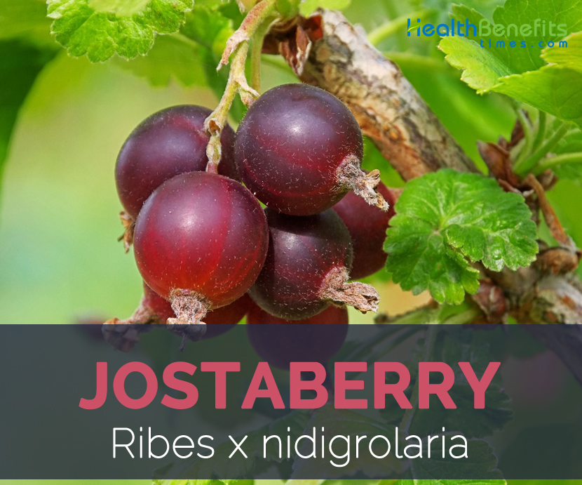 Jostaberry facts and health benefits
