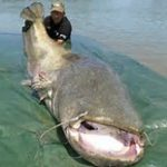 Wels Catfish