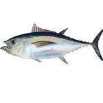 Big eye Tuna
