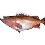 Bocaccio Rockfish