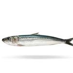 California Sardine