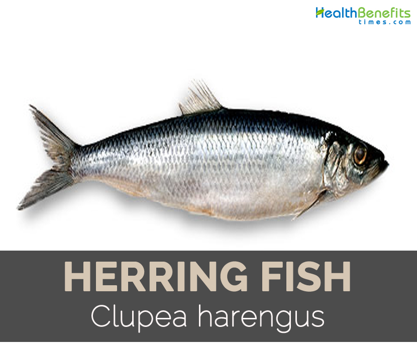Herring fish Facts, Health Benefits and Nutritional Value
