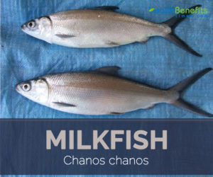 Milkfish facts