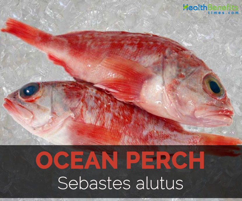 Ocean perch facts health benefits and nutritional value for Perch fish facts