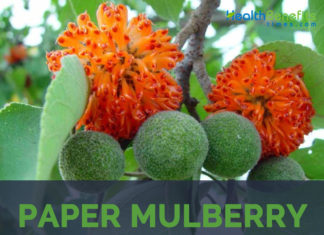Paper mulberry
