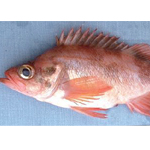 Sharp chin Rockfish