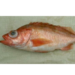 Stripe tail Rockfish