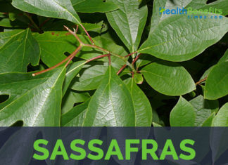Sassafras facts and health benefits