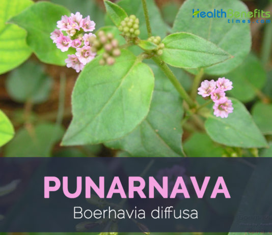 Punarnava facts and health benefits
