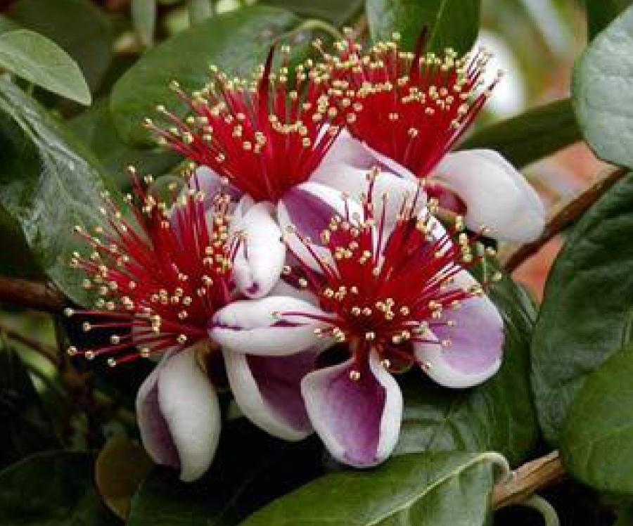 Feijoa-Flower