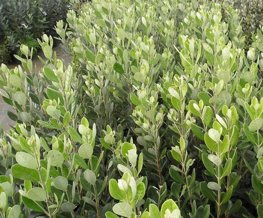 Feijoa-Plant