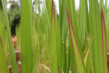 Leaf of Red-Rice-plant