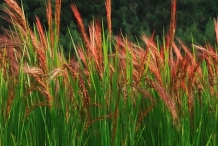 Red-rice-plant
