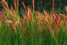 planta de arroz rojo