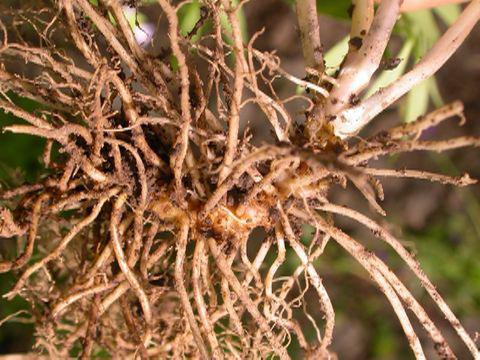 Roots-of-Abscess-Root-plant
