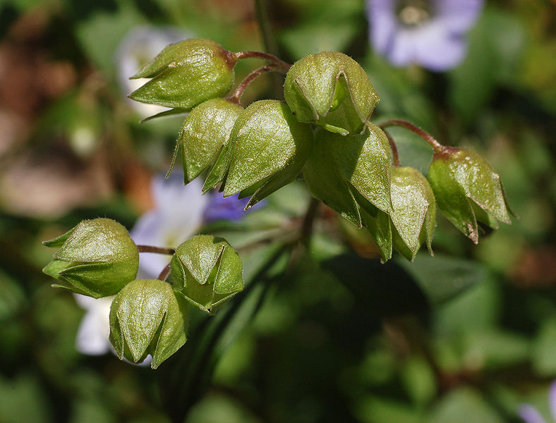 Seed-pods-of-Abscess-plant