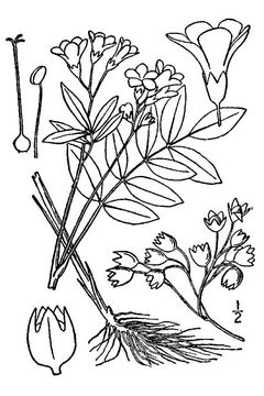Sketch-of-the-Abscess-root-plant