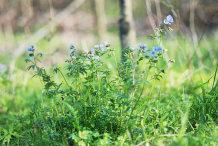 Abscess-Root-plant-growing-wild