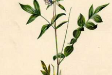 Plant-Illustration-of-Abscess-root