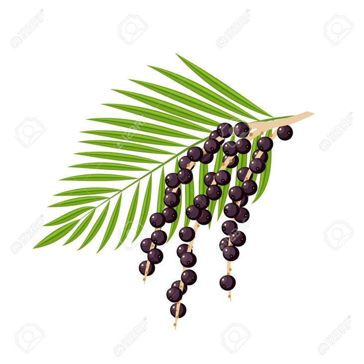 Plant-Illustration-of-Acai-berry