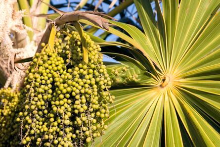 Unripe-acai-berries