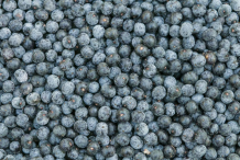 Harvested-Acai-berries