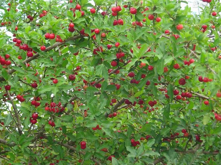 Acerola-cherry-in-the-plant