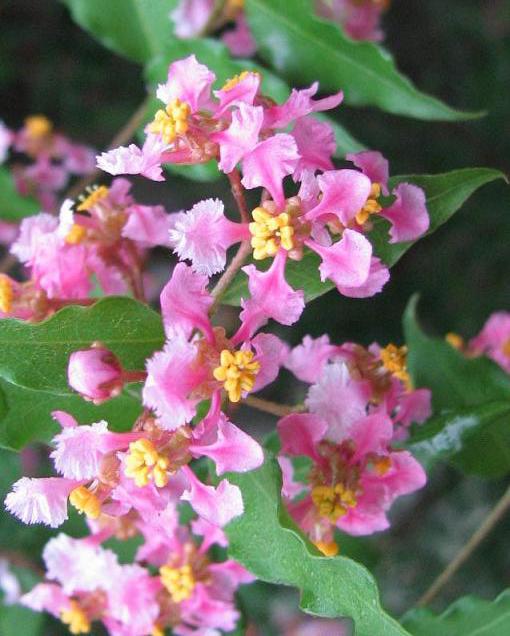 Close-up-flower-of-Acerola-cherry