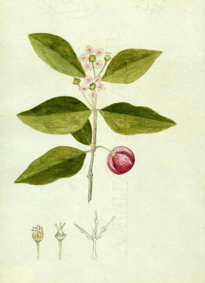 Plant-illustration-of-Acerola-cherry