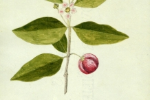 Plant-illustration-of-Acerola-cherry