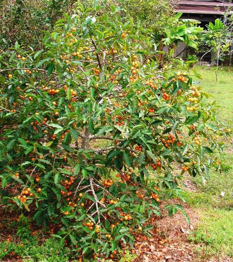 Achacha-tree