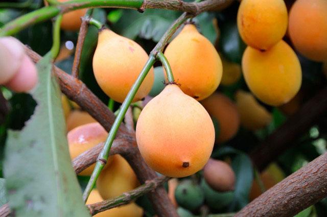Mature-Achacha-fruits-on-the-tree