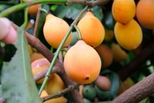 Mature-Achacha-fruits-on-the-tree