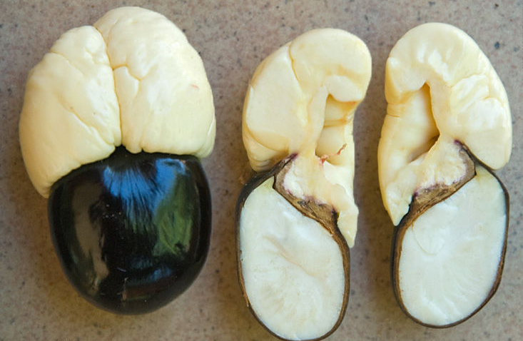 Ackee-seeds