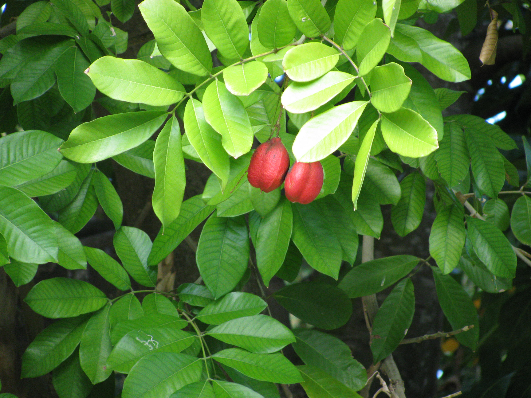 Leaves-of-Ackee-plant