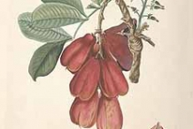 Illustration-of-Ackee