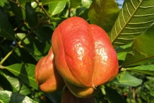 Ackee-fruit-unripened
