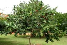 Ackee-tree