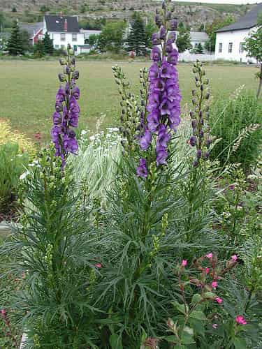 Aconite-plant