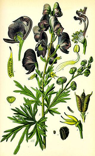 Plant-Illustration-of-Aconite