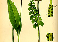 Plant-Illustration-of-Adder's-tongue-fern