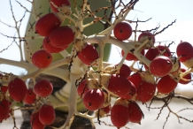 Adonidia-Palm-fruits