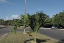 Adonidia-Palm-tree