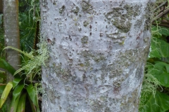 Adonidia-Palm